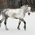 Light  Grey Horse Goes On A Winter Glade  by Vadzim Kandratsenkau