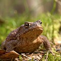 The Common Toad 3 by Jouko Lehto