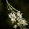 White Fireweed by Jouko Lehto
