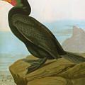 Audubon: Cormorant by Granger