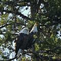 Bald Eagle by Greg Payne