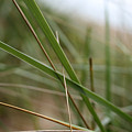 Beach Grass by Laura Kinker