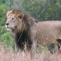 Black Maned Lion by Sandra Bronstein