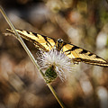 Swallowtail Butterfly by Kelley King