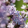 Common Purple Lilac by J McCombie
