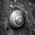 Conch by Jouko Lehto