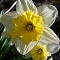 Daffodil Days by Annie Babineau