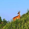 Deer Buck. by John Greim