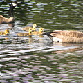 Family Of Geese by Tammy Bullard
