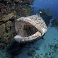Giant Grouper, Great Barrier Reef by Mathieu Meur