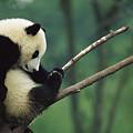 Giant Panda Ailuropoda Melanoleuca Year by Cyril Ruoso