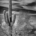 Giant Saguaro by Kelley King