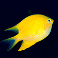 Golden Damselfish by Dave Fleetham - Printscapes