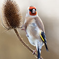 Goldfinch On Teasle by Bob Kemp