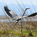 Great Blue Heron  by Dennis Hammer