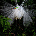 Great Egret by Dennis Goodman