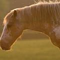 Horses In The Evening Light by Angel Ciesniarska