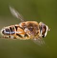 Hoverfly In Flight by Bob Kemp