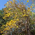 Jerusalem Thorn Tree by Allan  Hughes