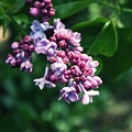 Lilac by Cathie Tyler