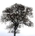 Lone Tree In Field by John Short