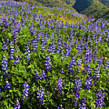 Lupine Hilltop by Greg Clure