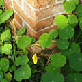 Nasturtium Leaves by Stefania Levi
