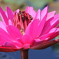 Pink Water Lilly by Sean Allen