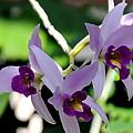 Purple Orchids by Patrick  Short