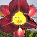Red Lily by Tina Antoniades