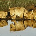 Reflected Lions by Michele Burgess