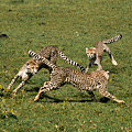 Ring Around The Cheetahs by Michele Burgess