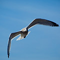 Seagull In Flight by Steven Natanson