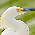 Snowy Egret by Rich Leighton