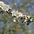 Spring Blooming. by Shlomo Zangilevitch