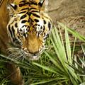 Stalking Tiger by Carolyn Marshall