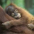 Sumatran Orangutan Pongo Abelii Two by Suzi Eszterhas