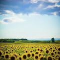 Sunflowers by Kirstin Mckee
