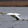 Swan During Take Off by Cliff Norton