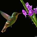 Tufted Coquette by Larry Linton
