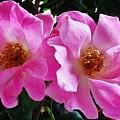 Twin Roses by Marsha Heiken