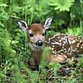 White-tailed Deer Odocoileus by Konrad Wothe