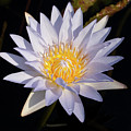 White Water Lily by Steve Stuller