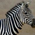 Zebra by D Nigon