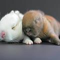 11 Day Old Bunnies by Copyright Crezalyn Nerona Uratsuji