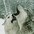 An Alpha Male Gray Wolf, Canis Lupus by Jim And Jamie Dutcher