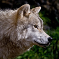 Arctic Wolf Portrait by Michael Cummings