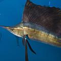 Atlantic Sailfish Istiophorus Albicans by Pete Oxford