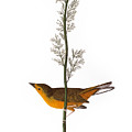 Audubon: Warbler, (1827) by Granger