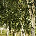 Birch Trees by Svetlana Sewell
